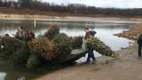 Conservationists recycle old Christmas trees