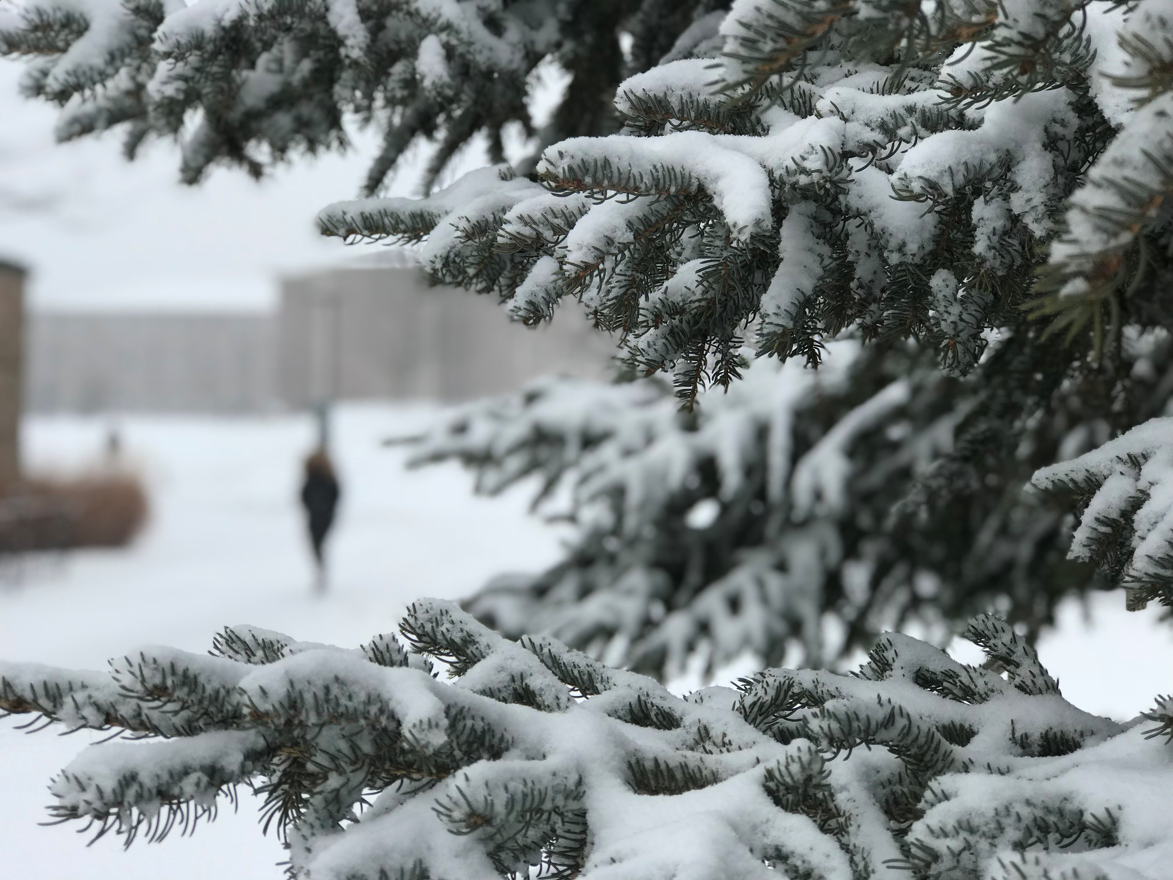 Snow from Winter Storm Abigail covers evergreen branches on the University of Wisconsin-Green Bay campus Dec. 13, 2017. (WLUk/Gabrielle Mays)