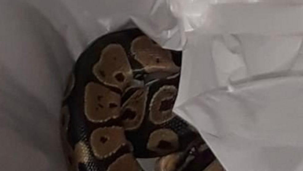 Florida woman finds python in her laundry machine