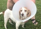 Vets Say Dog Sexually Assaulted With Broom Is One Of The Worst Cases Of Abuse Ever Seen Wjla