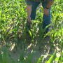 Area farmers fighting volunteer corn in fields