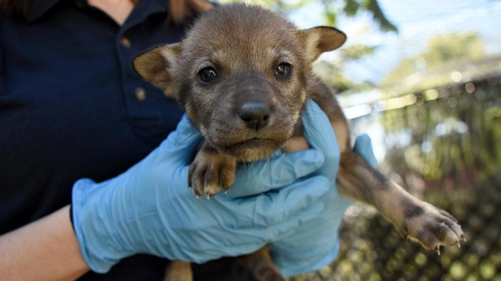 Photos: Meet the adorable (& endangered) Red Wolf Pups at Point Defiance Zoo