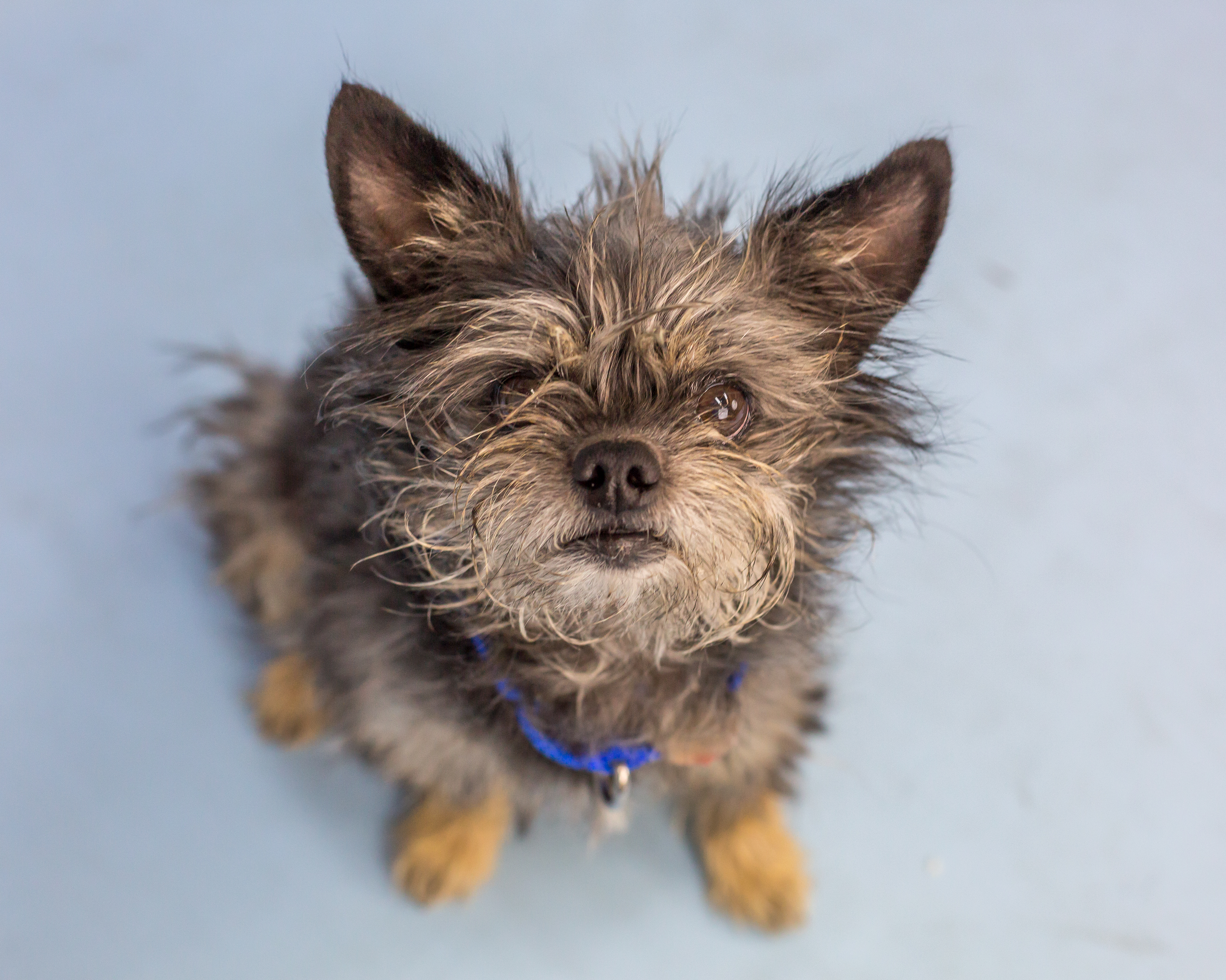 Hi there, I'm Precious (aren't I?) I'm a nine-year-old Yorkshire terrier mix hoping for a fresh start with your family. I've done well with cats and dogs in a previous home, although sometimes I like to keep my things to myself. I'm a petite little lady, so a home with teens and adults will be best so I'm handled gently and given space at times. Mellow and loyal describe me well – I want to be your best friend!