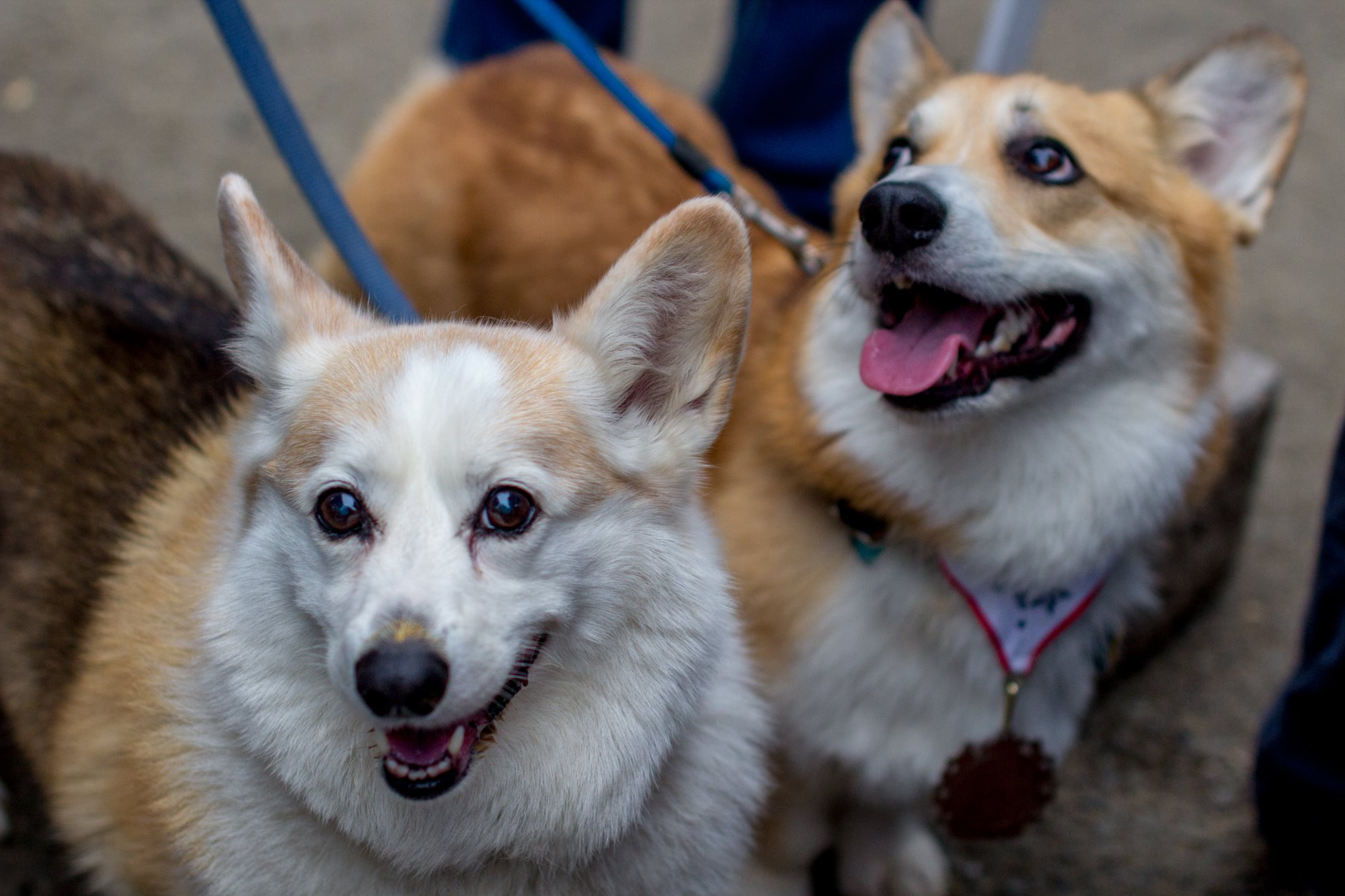 "There are few things in life we love more than a bunch of dogs all in one place that we can go nutty over! So naturally, Derpin' in DC: Corgtoberfest was right up our alley! Hundreds of stumpy-legged fluff monsters and their humans descended on Tysons Biergarten for the fourth annual Corgi meetup, though it was an all-inclusive event with many other breeds making an appearance as well. There was a costume contest for the dogs and stein-drinking competitions for their two-legged counterparts, followed by several heats of corgi races. Boy can those stumpy little furballs run! You may see some familiar faces as several ""insta stars"" were present, including Navy, Moogle, Waffles, Jasper and Biscuit. Plus, our friends from We The Dogs DC were repping! (Image: Courtesy IG user @wethedogsdc)"