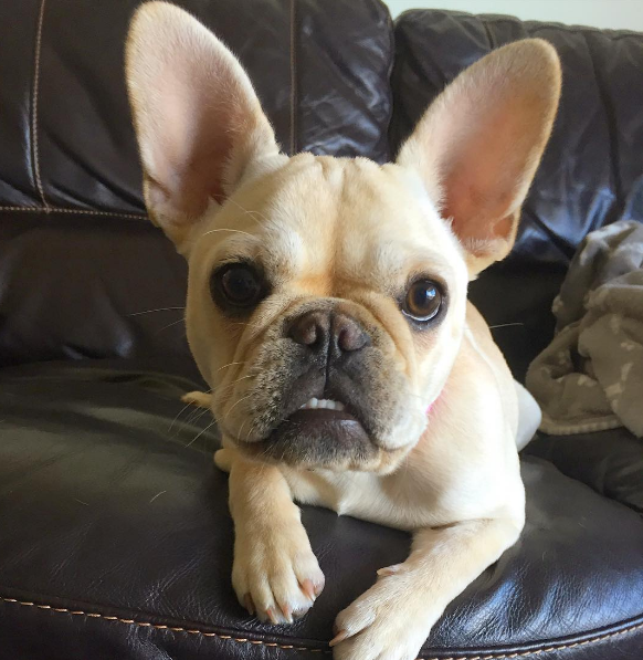IMAGE: IG user @capcityfrenchie / POST: Na, na, na, na, na, na.... BAT EARS!  #batears #batpig #frenchieears #batman #peanutgallery