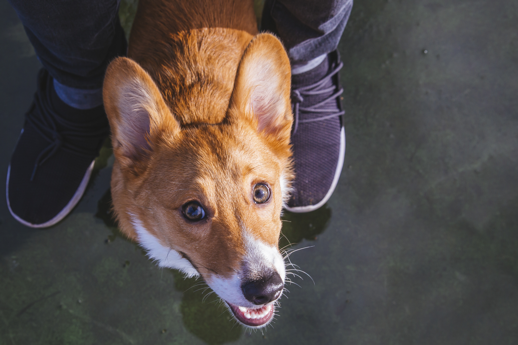 Meet Floyd the six month old Pembroke Welsh Corgi! Floyd likes snuggles, food and dogs. He dislike sirens, dogs on the TV, and rain! You can follow Floyd's journey through life on his Instagram page @floyd_corgi.{ }The Seattle RUFFined Spotlight is a weekly profile of local pets living and loving life in the PNW. If you or someone you know has a pet you'd like featured, email us at hello@seattlerefined.com or tag #SeattleRUFFined and your furbaby could be the next spotlighted! (Image: Sunita Martini / Seattle Refined).