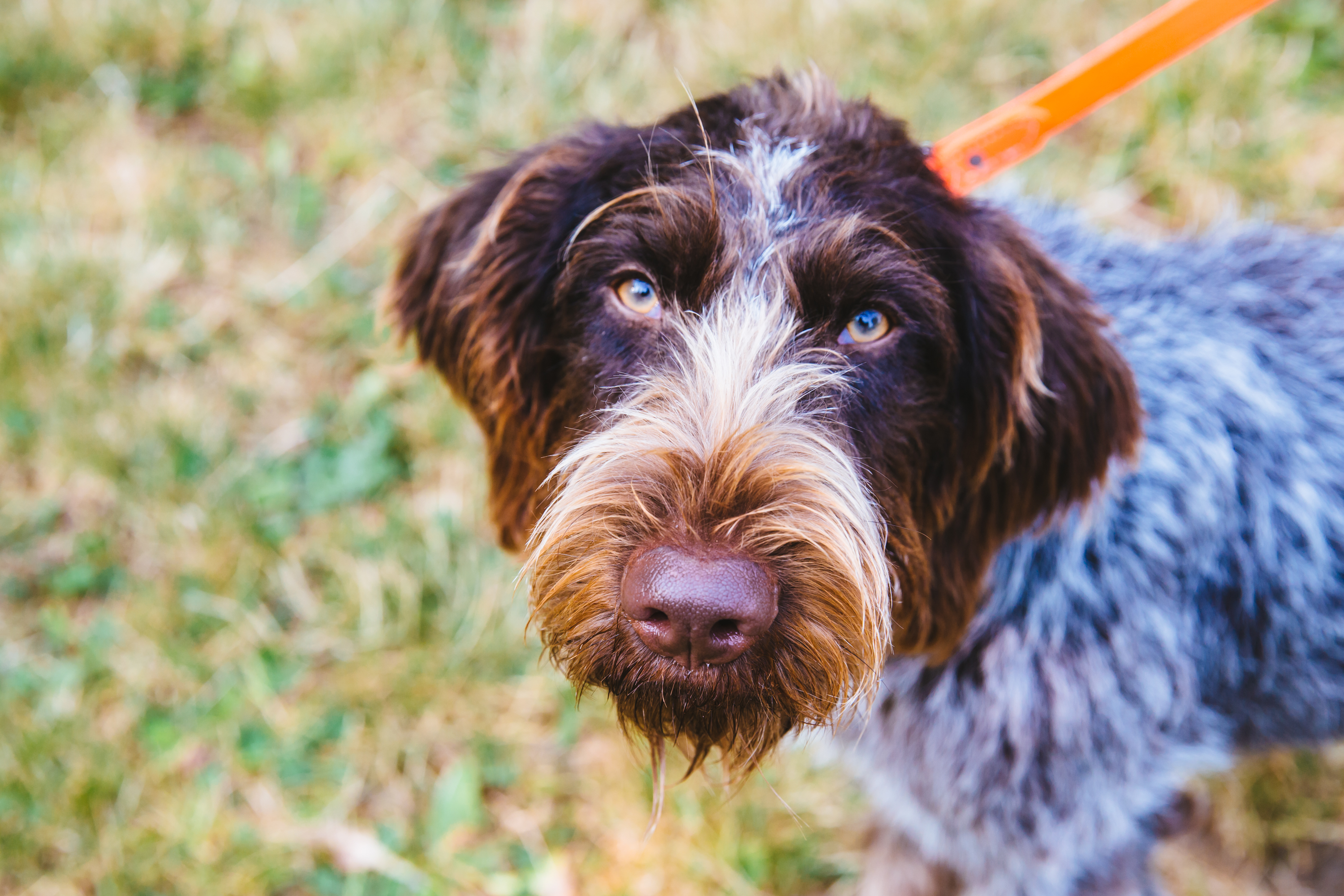 Everyone meet, Gertrude McFuzz. Gertie may or may not have one of the best names we've ever come across in our RUFFined Spotlight series. Gertrude is a 10-month-old German Wirehaired Pointer who is living the dream in Seattle. She is the youngest of three dogs. Gertrude McFuzz likes to play with her brother, swim, and eat poop. She dislikes people walking down her driveway. (Image: Sunita Martini / Seattle Refined)