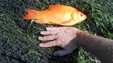 Pet fish dumping potential problem for Michigan waters