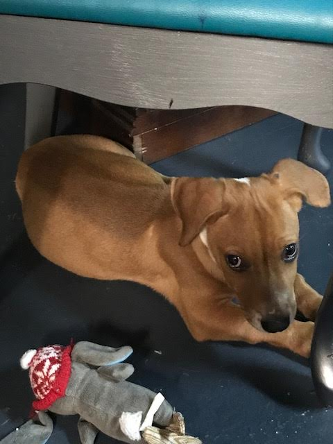 Arnie is a 10-week-old, 12-pound Basset Hound mix who was evacuated before the storm from{ }Florence, South Carolina. If you are interested in adopting Arnie, you can meet him Sunday (September 16) from 12-2 pm at the Kentlands PetSmart in Gaithersburg, MD. (Image: Courtesy Lucky Dog Animal Rescue){ }