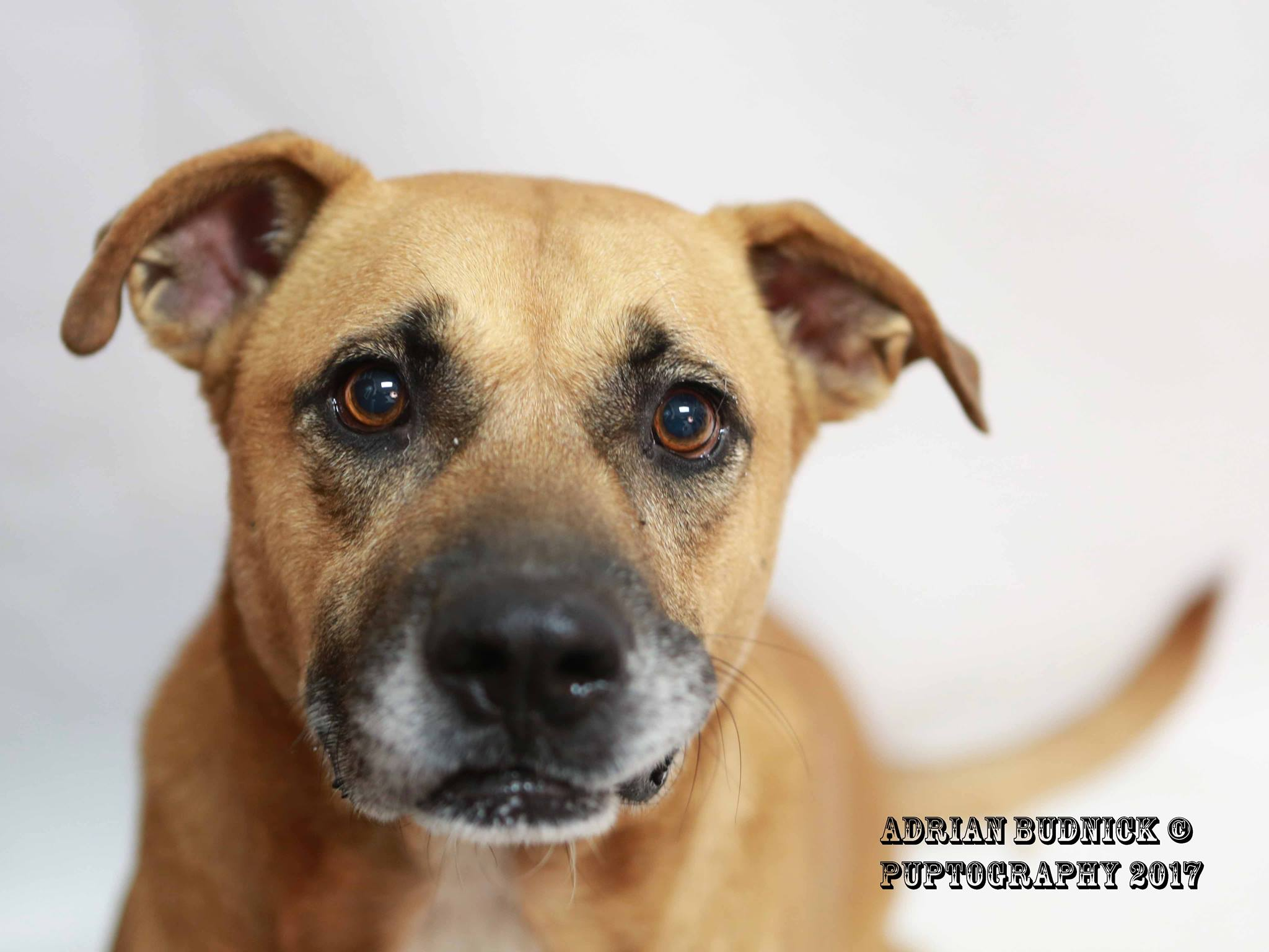 Jankins A177045 is a 8 year old lab mix. He is available at Metro Nashville Animal Care and Control