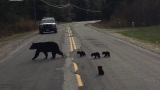 Family of bears blocks traffic in New Hampshire