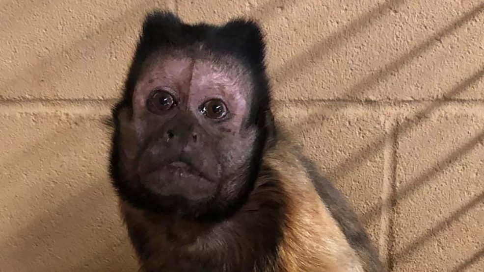 Vern the Tufted Capuchin Monkey had been at the Wright Park Zoo in Dodge City, Kansas, since 1988..jpg