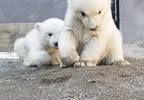 polar bear twin cubs.jpg