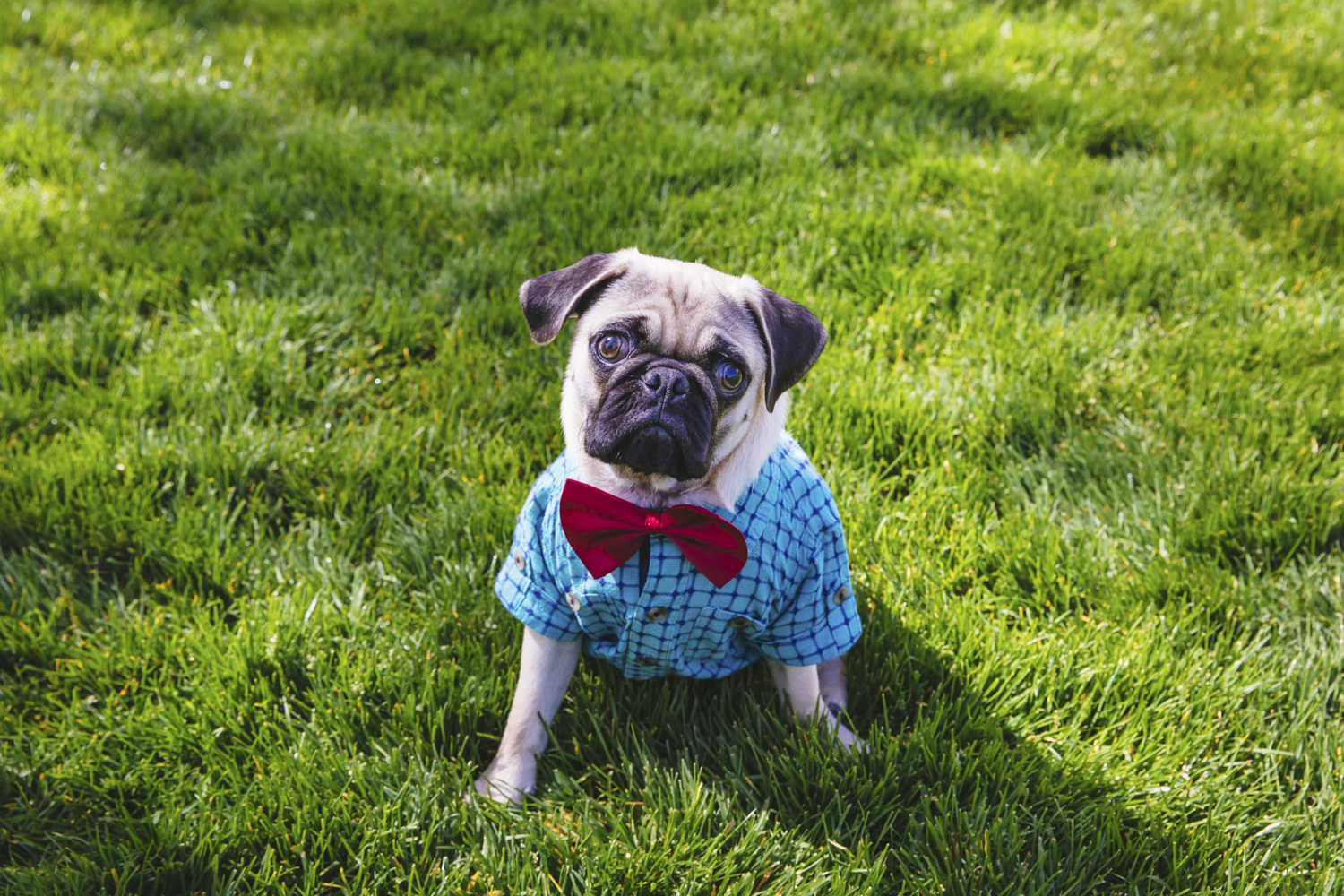 Ruffined Spotlight Napoleon Pugsly The First Seattle