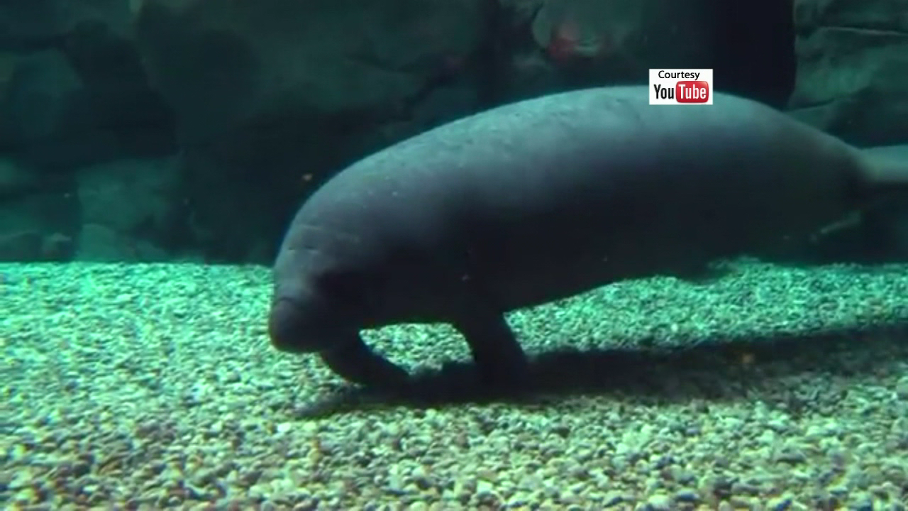 Monday's the first day the public will be able to see three orphaned manatees that arrived in Cincinnati a few days ago. (YouTube/Cincinnati Zoo)