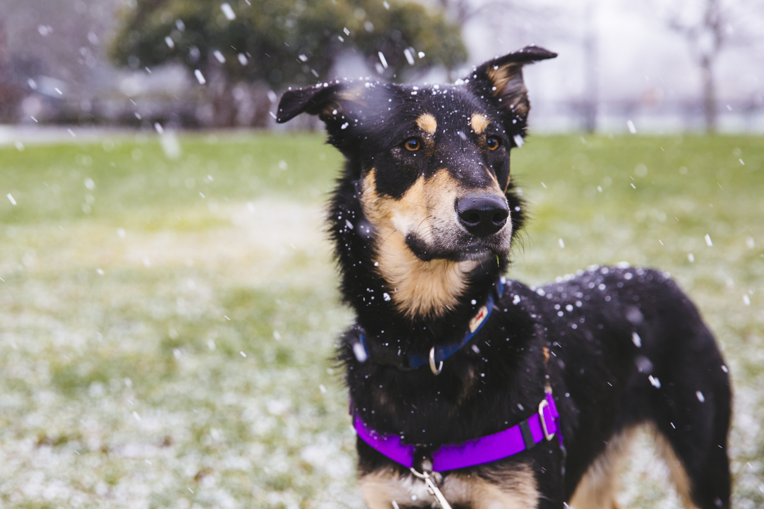 LOOK AT DIS BOY! Finn and Sunny, our fearless RUFFined photog, braved the bizarre spring hail storms for this shoot! Finn is a 13-month-old Australian Shepherd/Lab mix. Finn made the journey from the country side of Yelm to the big city lights of Seattle. Finn is a simple boy who likes running, snuggling, fetch, cheese and parties. He dislikes vacuums, being left out and leashes. The Seattle RUFFined Spotlight is a weekly profile of local pets living and loving life in the PNW. If you or someone you know has a pet you'd like featured, email us at hello@seattlerefined.com or tag #SeattleRUFFined and your furbaby could be the next spotlighted! (Image: Sunita Martini / Seattle Refined).