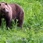 Grizzly bear found shot near Idaho border