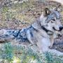 Authorities link southern Oregon wolf pack to another kill