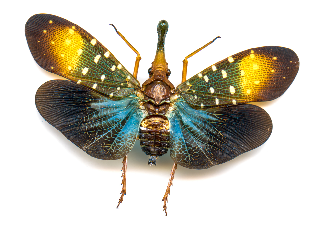 Blue Lanternfly{ }/ Image: Catherine Viox // Published: 4.12.20