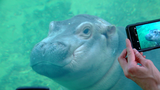 GALLERY: Baby hippo Fiona plays in zoo's Hippo Cove