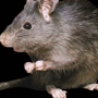 Cincinnati is one of the worst cities for rats, mice