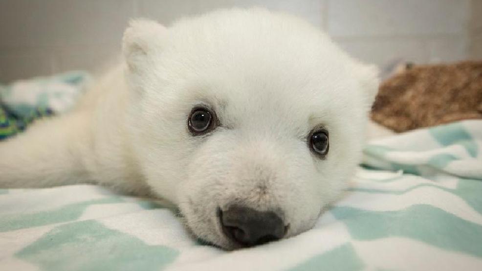 Nora Zoo Names Polar Bear Cub Wsyx