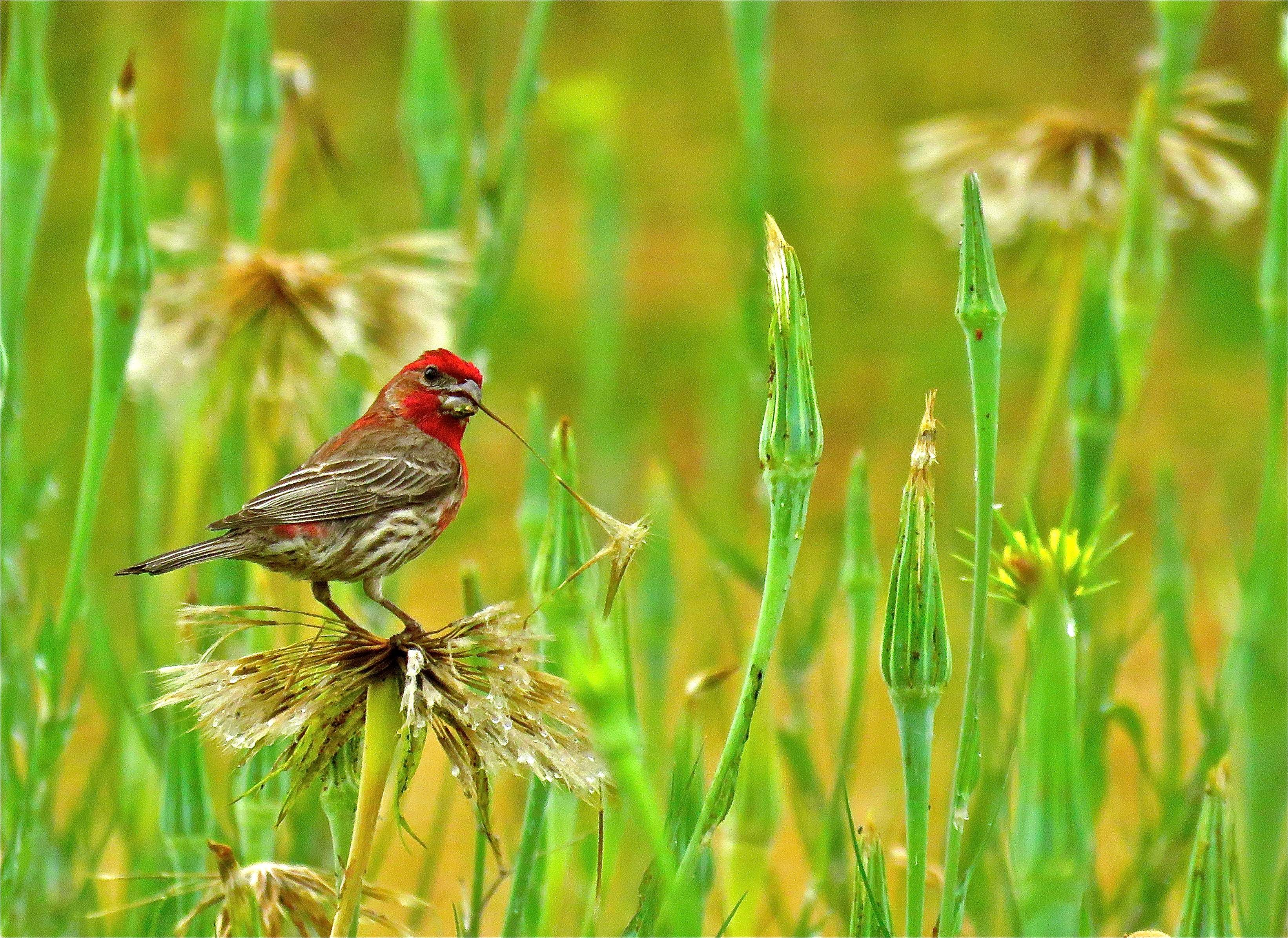 House finch snapping off seed heads in a meadow near Ashland - Photo by Jacie Gray