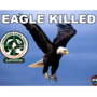 Bald eagle found shot, game wardens ask public for information