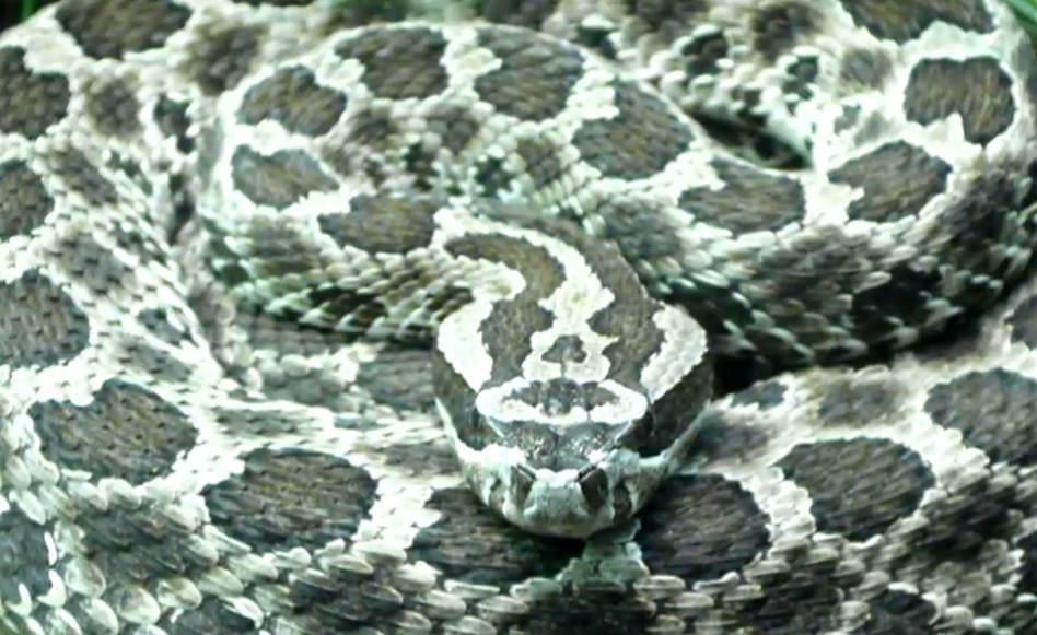 The Massasauga rattlesnake is the only venemous snake in Michigan.