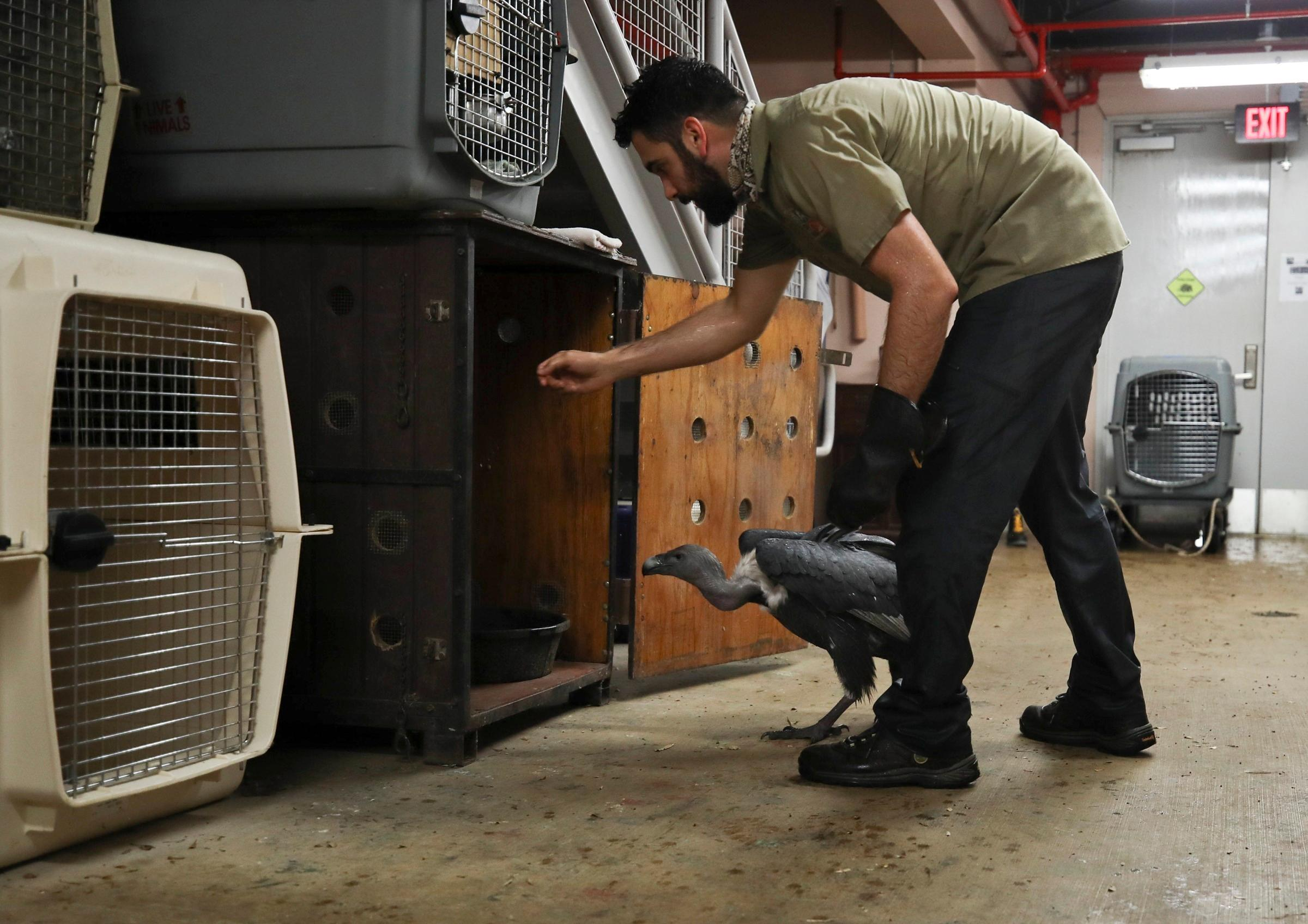 Zookeeper Ryan Martinez leads an Indian white-rumped vulture into a crate as animals are moved into a shelter at the Zoo Miami in preparation for Hurricane Irma on Saturday, Sept. 9, 2017, in Miami. (Al Diaz/Miami Herald via AP)