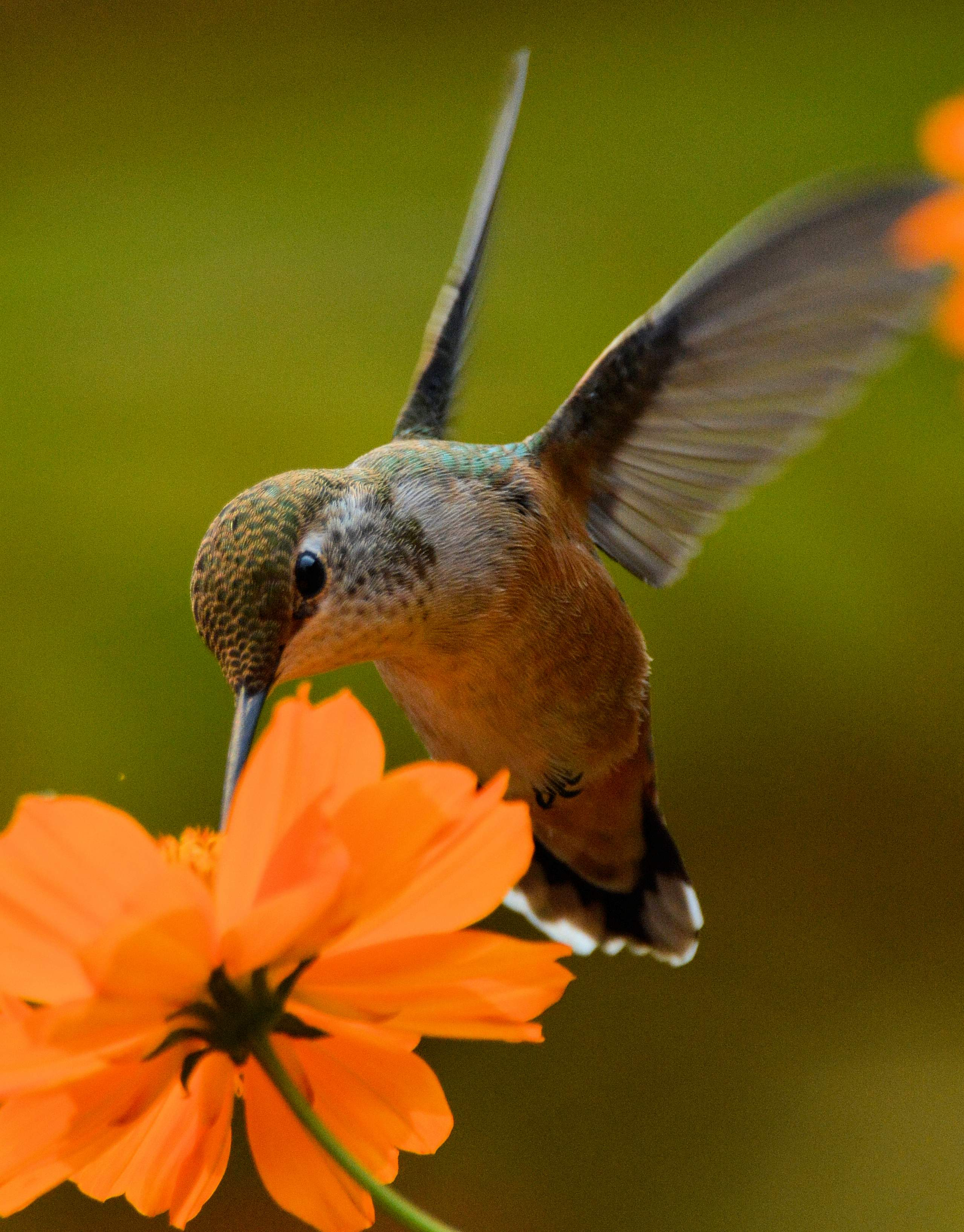 Hummingbird with flower. - Photo by Richard Wilson