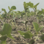 Some farmers see increased soybean value after talks about a possible U.S. & China deal