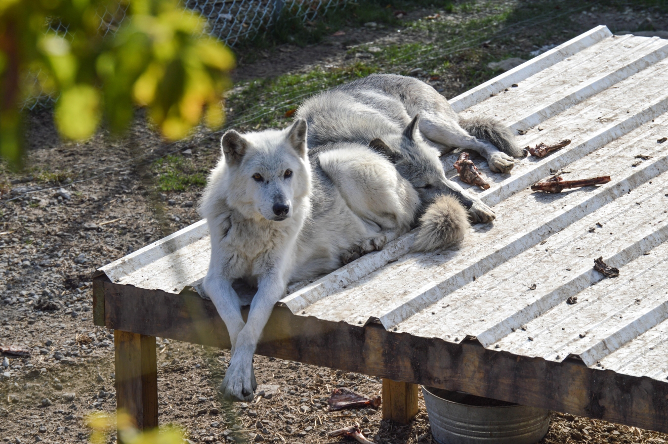 Wolf Creek Habitat & Rescue is a wolf sanctuary an hour northwest of Cincinnati. You can see the wolves for free from the observation deck, or you can pay to interact with them. The sanctuary is located at 14099 Wolf Creek Road in Brookville, IN 47012. / Image: Liliana Dillingham / Published: 11.5.16