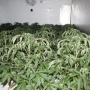 Burglary investigation leads to 814 pot plants in Hillman City