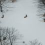 DNR counts Michigan's elk population from the sky
