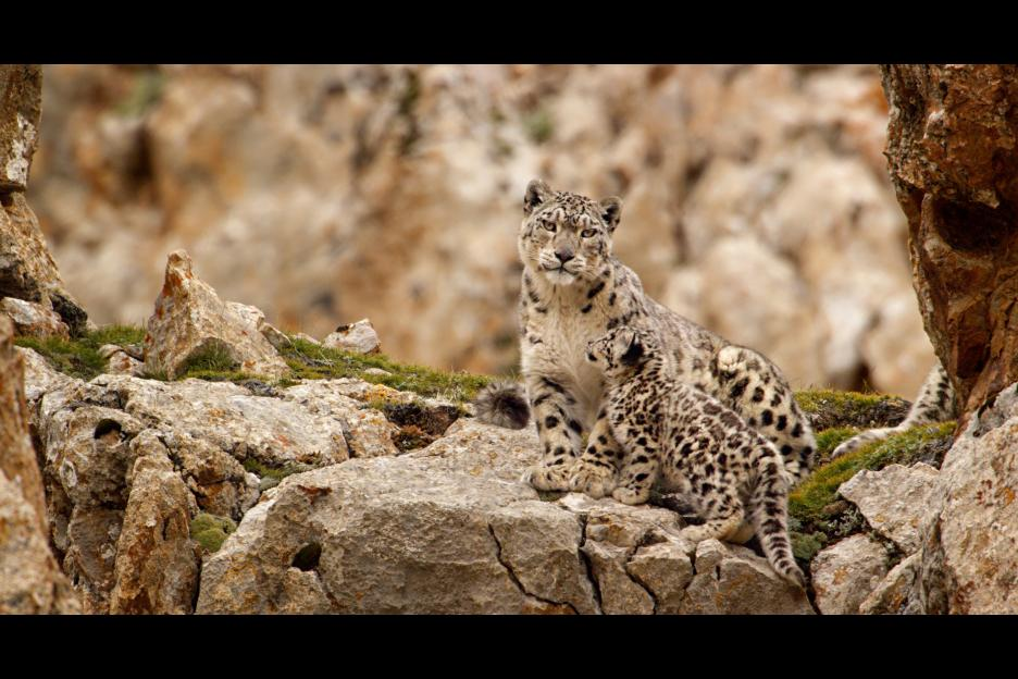 "A snow leopard featured in Disney Nature's ""Born in China"" film."