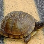 Conservation Department says to beware of turtles on roads