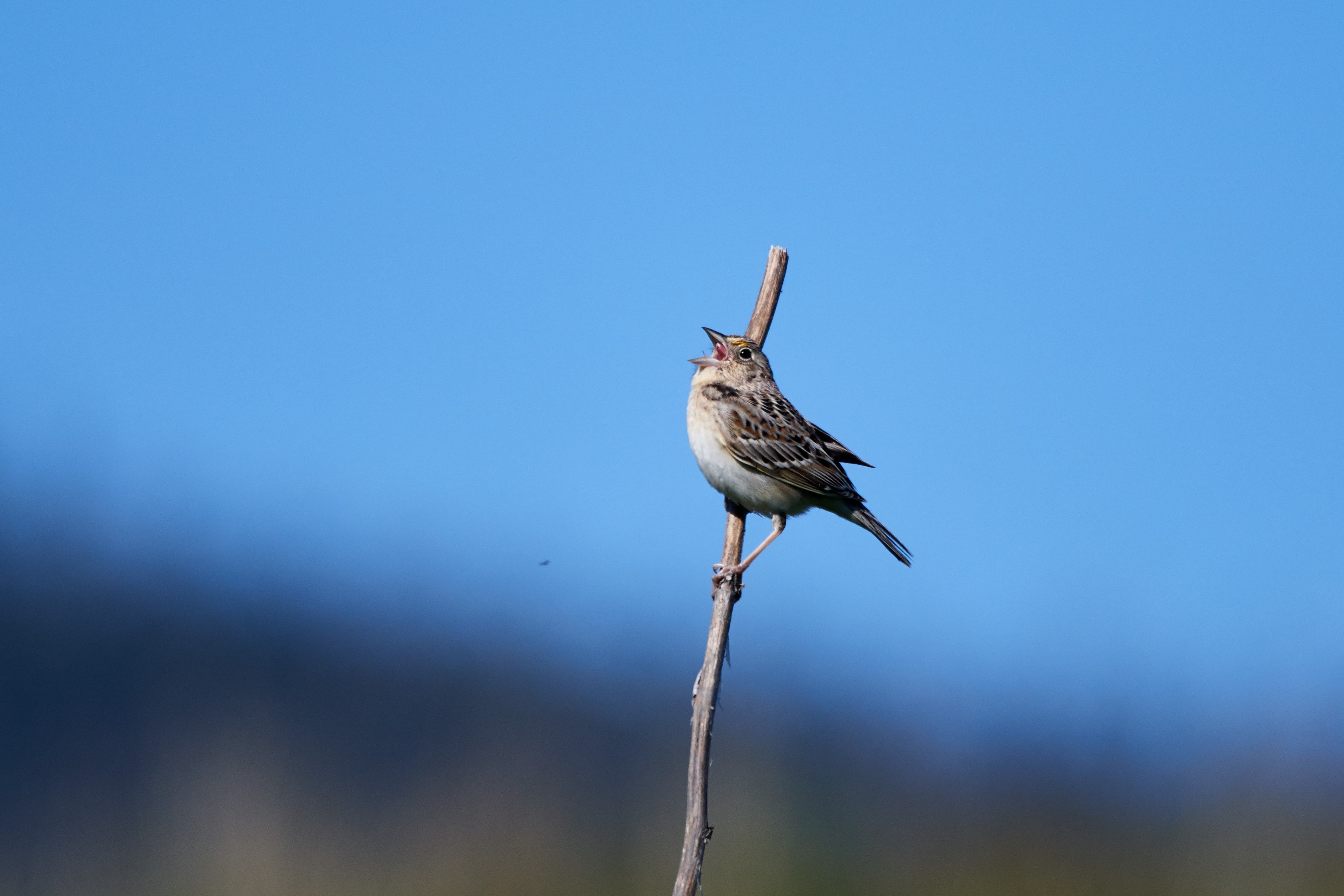 <p>Photo by Frank Lospalluto<br>A grasshopper sparrow sings out on the Imperatrice property.</p>