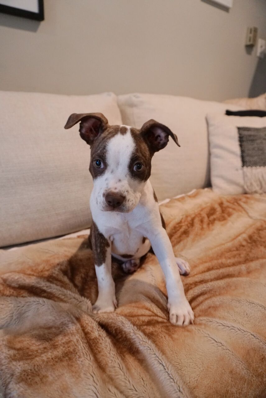 Stormy is a 14-week-old, 15-pound Pitbull mix who was evacuated before the storm from{ }Florence, South Carolina. If you are interested in adopting Stormy, you can meet her{ }Sunday (September 16) from 12-2 pm at the Kentlands PetSmart in Gaithersburg, MD. (Image: Courtesy Lucky Dog Animal Rescue){ }