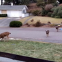 Oh deer! Bellingham considers ban on feeding deer after neighborhood invasion