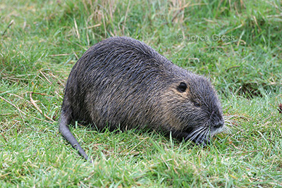 Wildlife officials are asking California residents to report any sightings of nutria — an invasive rodent that eats so much aquatic vegetation that it threatens wetlands and marshes.