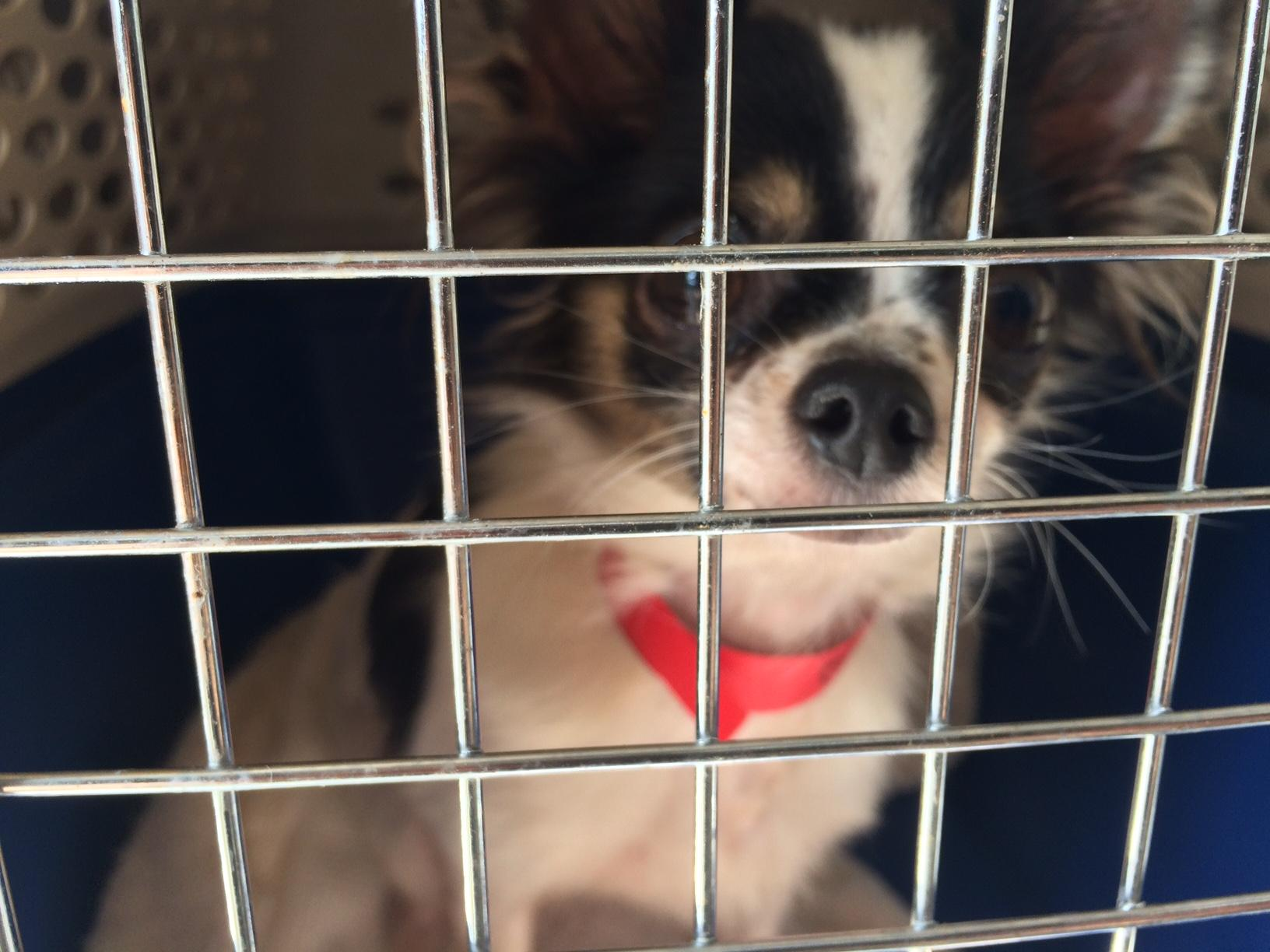 Veterinarians are working to assess the needs of 98 small dogs surrendered to Greenhill Humane Society in what Lane County officials called the worst case of animal hoarding in a quarter century. (SBG)