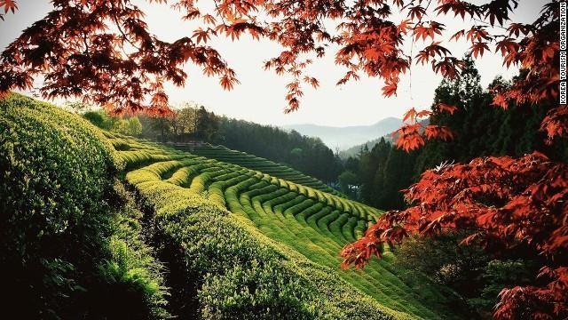 Approximately 40% of Korea's tea is produced in the rolling fields of Boseong, which have also provided the backdrop of many South Korean dramas and films.