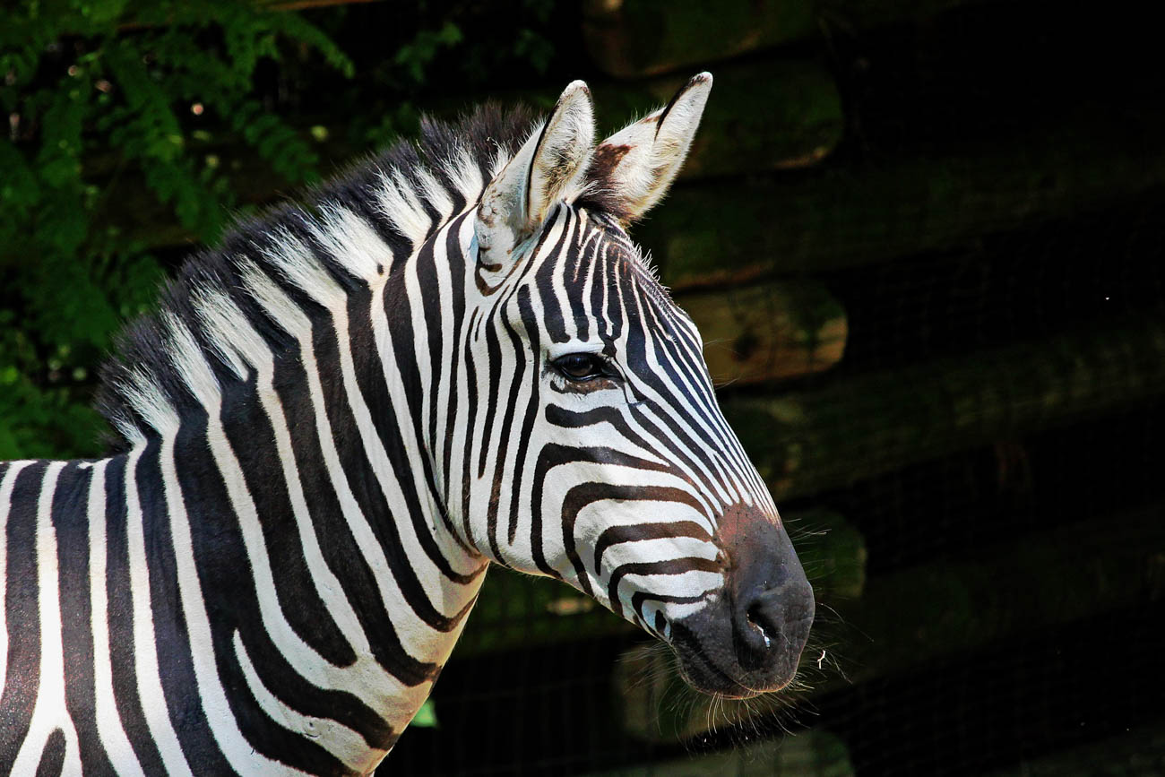 A zebra at the Cincinnati Zoo & Botanical Garden / Image: Larry Thomas // Published: 1.16.19
