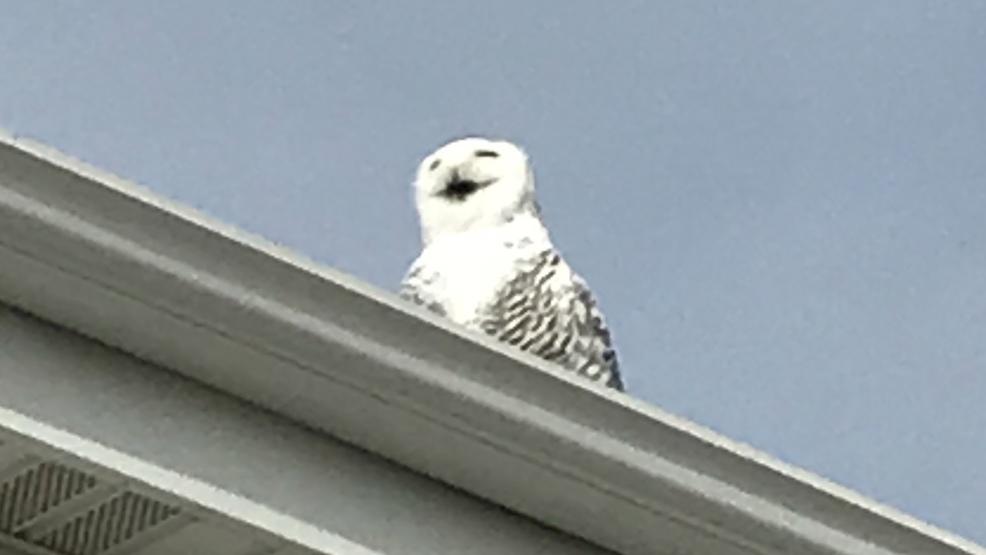 Snowy Owl Spotted In Ashwaubenon Wluk