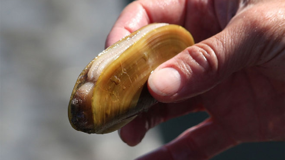 Razor clam harvest opens this weekend at 2 Wash. beaches | KOMO