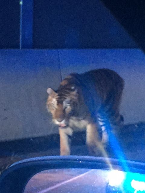 Police have confirmed that a tiger that was running loose on a Georgia highway was shot and killed. (Henry County Police Department)
