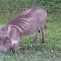 African warthog found wandering through Florida neighborhood