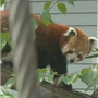 Red panda, snow leopard habitats open at Seneca Park Zoo