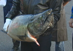 copper_river_salmon_03.jpg
